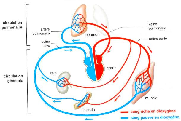 cardio circulation sanguine
